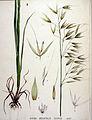 Avena orientalis — Flora Batava — Volume v19.jpg