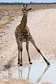 Awkward giraffe (3687267965).jpg