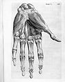 B.S. Albinus, Historia musculorum hominis Wellcome L0024319.jpg