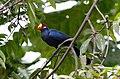 BIRDS GAMBIA-2464 (6989722367).jpg