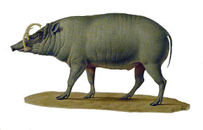 https://upload.wikimedia.org/wikipedia/commons/thumb/b/b6/Babiroussa_1.jpg/290px-Babiroussa_1.jpg