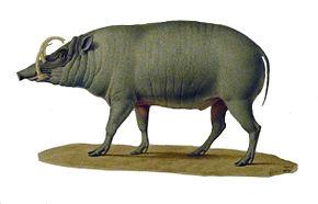 https://upload.wikimedia.org/wikipedia/commons/thumb/b/b6/Babiroussa_1.jpg/290px-Babiroussa_1.jpg