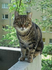 Bajci female cat.jpg