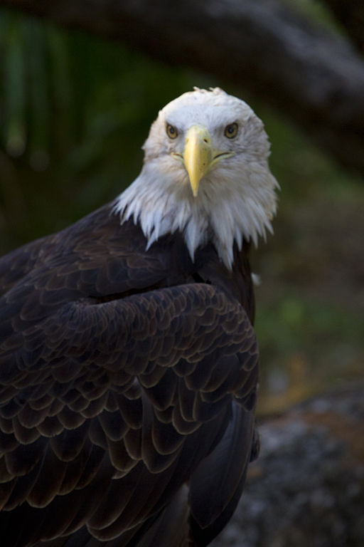 File Bald Eagle At San Antonio Zoo October 26 2011 Jpg
