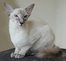 Siamese Cat Wikipedia