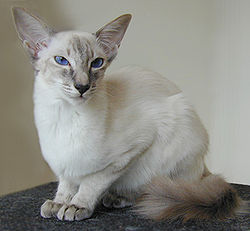 Un balinais bleu tabby point