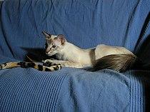 Balinese cat.jpg