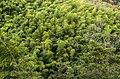 Bamboo forest - panoramio (1).jpg