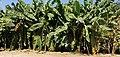 Banana trees in Jericho.jpg