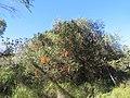 Banksia ericifolia (42630120042).jpg