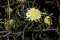 Banksia kippistiana - 48278366697.jpg