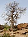 BaobabsMali 01.JPG