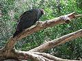 Barcelona-Zoo-Zopilote de cabeza roja (Catarthes aura).jpg