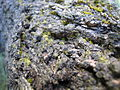 Bark apricottree close up PNr°0022.jpg