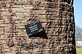 Bark of Araucaria araucana (Monkey Puzzle) 01.jpg