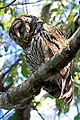 Barred Owl- Sleeping, NPSPhoto, G.Gardner (9099322847).jpg