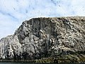 Bass Rock Gannets 4.jpg