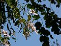 Bauhinia purpurea (1842766300).jpg