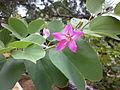 Bauhinia variegata (2).JPG