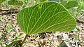 Beach Morning Glory leaf underside (17062383537).jpg