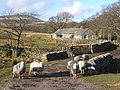 Beckstones and some local sheep - geograph.org.uk - 687046.jpg