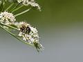 Bee on flower (14191145767).jpg