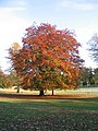 Beech, Abbey Fields - geograph.org.uk - 602407.jpg