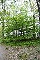 Beech tree in osby näset.jpg