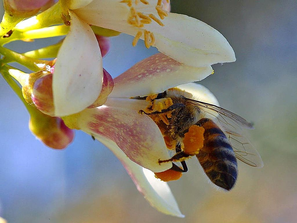 Bees really like pollinating my myer lemon tree