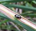 Beetle (21907256180).jpg