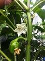 Bell pepper flower.jpg