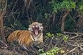 Bengal Tiger yawning in Sundarban.jpg