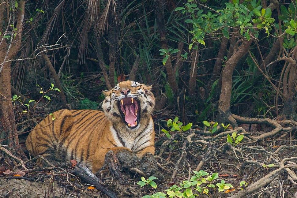 Bengal Tiger yawning in Sundarban
