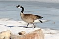 Bernache Canadienne Goose (2363816233).jpg