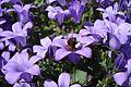 Biene beim Pollensammeln.jpg