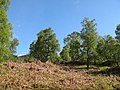 Birches, Glen Strathfarrar - geograph.org.uk - 446584.jpg