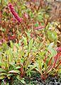 Bistorta affinis kz1.jpg