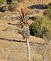 Bitter Aloe (Aloe ferox) (32196537060).jpg