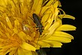 Bløtbukker (Oedemeridae) (4700952616).jpg