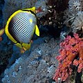 Black-backed Butterflyfish or blackback butterflyfish - Chaetodon melannotus (36874830042).jpg