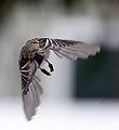 Black-capped Chickadee in Flight (2 0f 2) (3257315939).jpg