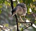 Black-crowned Night Heron I IMG 0334.jpg