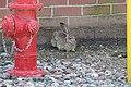 Black-tailed jackrabbit (34535831623).jpg