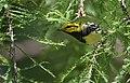 Black-throated Green Warbler (30180544105).jpg