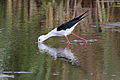 Black-winged Stilt, Common Stilt, or Pied Stilt, Himantopus himantopus at Marievale Nature Reserve, Gauteng, South Africa (23472569446).jpg