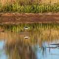 Black-winged stilt pond near Burke River Boulia Queensland P1030828.jpg