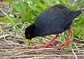 Black Crake (Amaurornis flavirostra) (11669063524).jpg