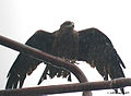 Black Kite I Picture 012.jpg