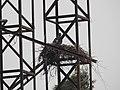 Black Kite Milvus migrans nest on hoarding by Dr. Raju Kasambe DSCN0375 (9).jpg