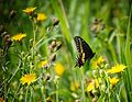 Black Swallowtail Mount Albion Conservation Area.jpg